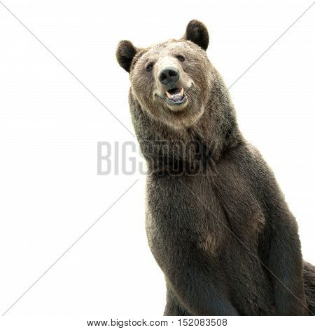 Big brown bear, funny predator. Brown bear portrait. Wild brown bear. Male bear. Bear face