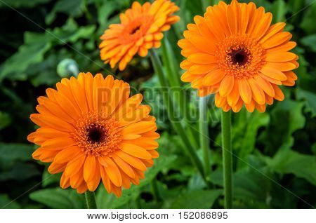Closeup of a brown hearted and orange blossoming Gerbera plants ready for harvesting in the large heated glasshouse of a specialized Dutch flower nursery.