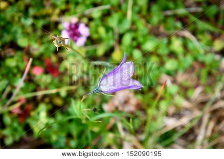 Purple Bell Flower Ruellia Brittoniana Flowers Is Blossoming In Nature.