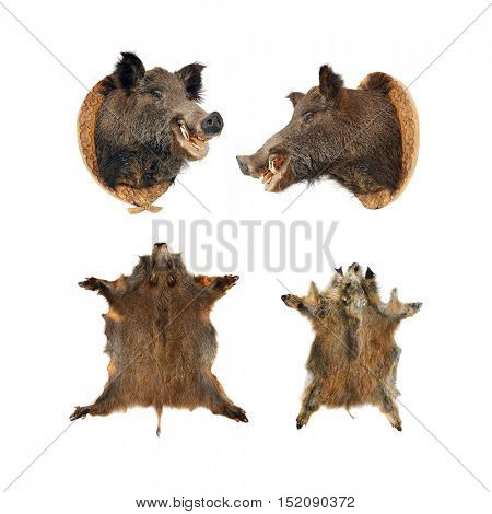 Wild boar (Sus scrofa) skins and heads isolated on a white background. Collection of hunting trophies from wilderness.