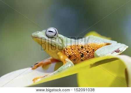 Tree frog, Javan tree frog sitting on leaf