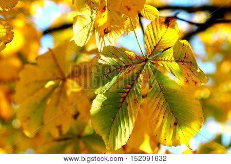 Branch of horse chestnut tree, autumn background. Shallow focus background.