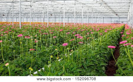 Heated glasshouse of a specialized Dutch flower nursery with many pink blossoming Gerbera plants largely ready for harvesting and export.