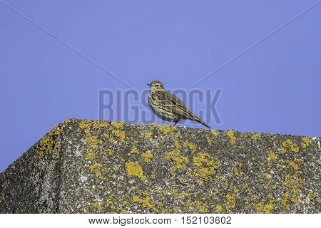 A skylark (Alauda arvensis) rests on yellow lichen covered concrete. A blue sky adds to the aesthetic appeal. Natural copy space.