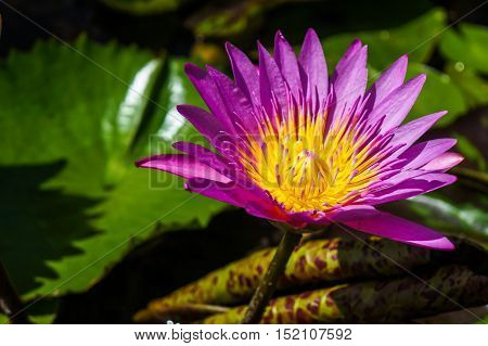 Lotus blooming with green leaf in small pond