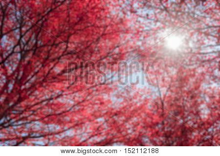 Blur beautiful red leaves on tree and sun light