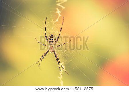 Vintage Photo Of Tiger Spider