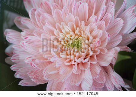 Beautiful tender pink chrysanthemum flowers. Colorful chrysanthemum flow.