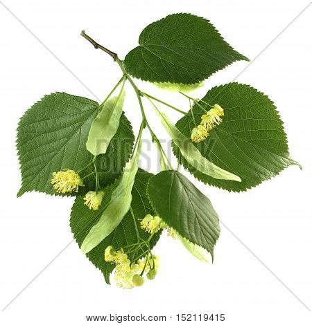 Flowers and leaves of linden closeup on a white background