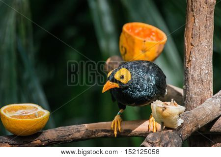 Yellow-faced Myna (Mino dumontii) perched on a tree branch.