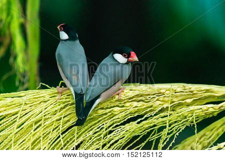 Java Sparrow, Ricebird