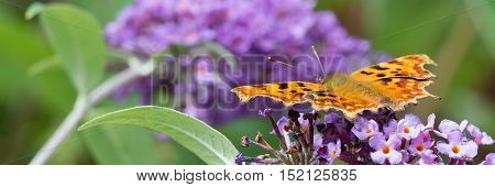 Comma butterfly feeding on a Buddleia flower in a Welsh garden. The Comma is relatively common in England and Wales it's habitat now extending Northwards into Scotland probably due to global warming. It is unmistakable with it's beautiful orange colours.