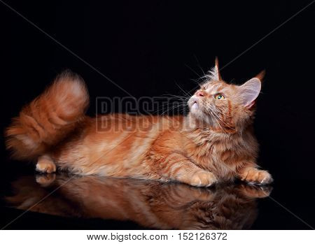 Female Red Solid Maine Coon Cat Lying With Beautiful Brushes On The Ears On Black Background. Closeu