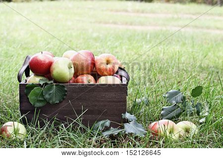 Freshly picked bushel of apples in an old vintage wooden crate with leather handles sitting in the grass at an orchard.