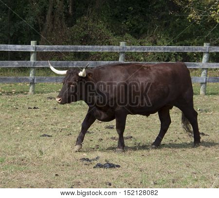 A Red Devon Ox (subfamily Bovinae) historically used as a draft animal, in its paddock.