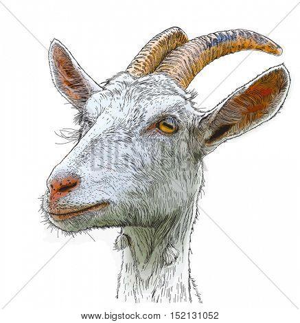 goat - a portrait - a color drawing