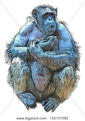 Sitting Monkey - chimpanzee. Color drawing