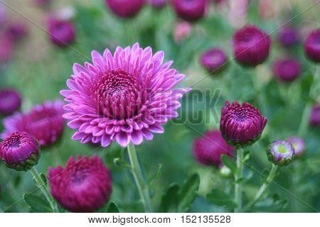purple chrysanthemum flowering bush with budding flowers