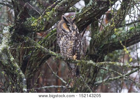 a long eared owl and well Camouflage