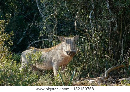 Common Warthog Trying To Hide Behind A Bush
