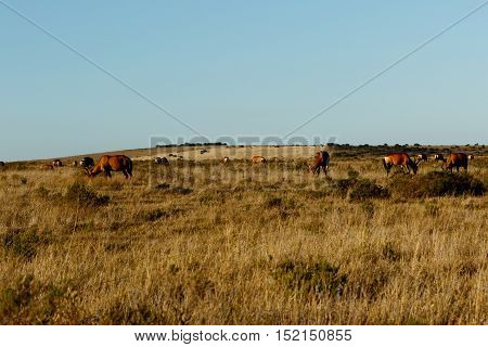 Yellow Field With A Herd Of Red Hartebeest