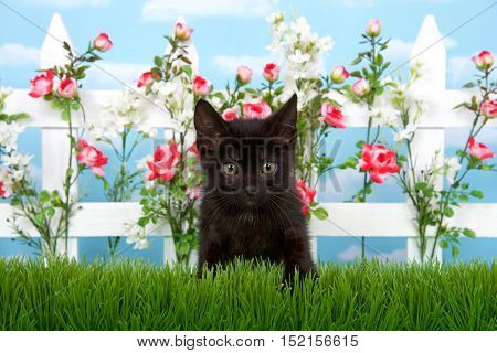 Adorable black kitten with green eyes sitting in tall grass in front of white picket fence with pink roses and white flowers sky background with clouds
