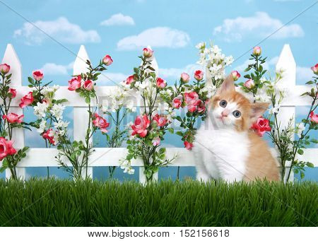 Adorable orange and white kitten with grey eyes sitting in tall grass in front of white picket fence with pink roses and white flowers sky background with clouds