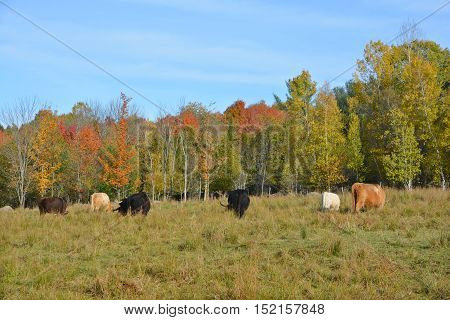 Highland cattle are a Scottish breed of cattle with long horns and long wavy coats which are color black, brindled, red, yellow or dun in fall landscape