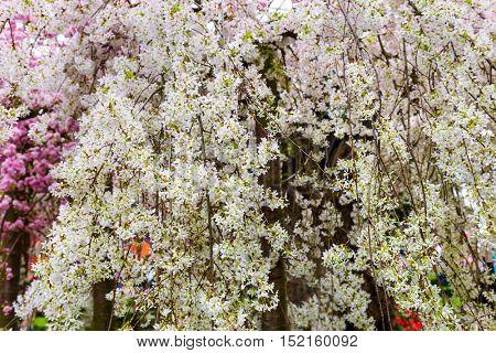 Sakura flower - nature floral background