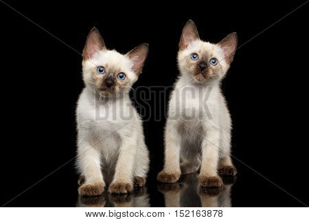 Portrait of Two Beautiful Mekong Bobtail Kittens with Blue eyes Sitting front view, Isolated Black Background, Color-point Thai Fur