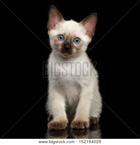 Portrait of Beautiful Mekong Bobtail Kitty with Blue eyes Sitting Front view, Isolated Black Background, Color-point Thai Fur