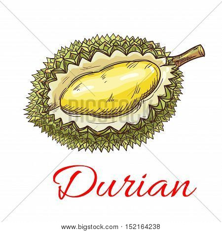 Exotic asian durian fruit sketch with smelly green peel and yellow sweet flesh. Tropical dessert recipe, oriental cuisine menu design