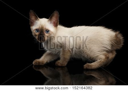 Crouched Mekong Bobtail Kitten with Blue eyes, Looking Curious, Side view, Isolated Black Background with Reflection, Color-point Thai Fur