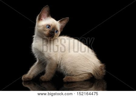 Crouched Mekong Bobtail Kitten with Blue eyes, Looking back, Side view, Isolated Black Background, Color-point Thai Fur