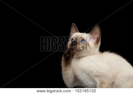 Close-up Portrait of laughs Mekong Bobtail Kitty with Blue eyes, Opened mouth and Catching his paw, Isolated Black Background, Color-point White Fur