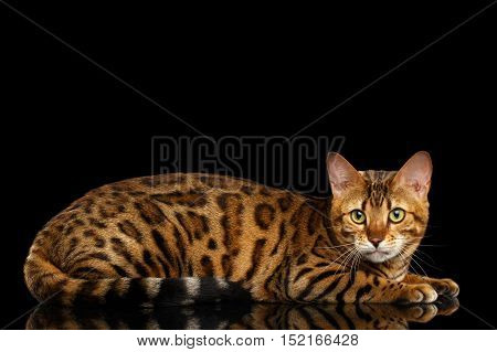 Adorable Bengal Cat Lying on isolated Black Background