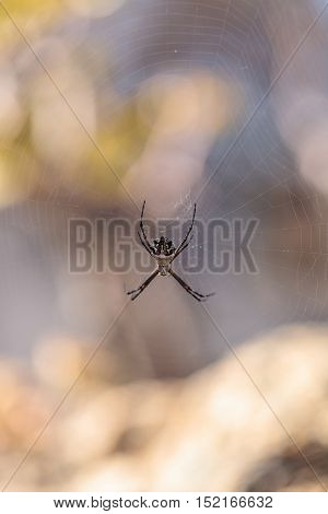 Silver argiope spider called an Argiope argentata is an orb weaver sitting in the middle of its web in Southern California