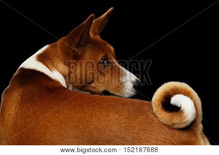 Portrait of White with Red Basenji Dog with Curl tail, Stare back on Isolated Black Background