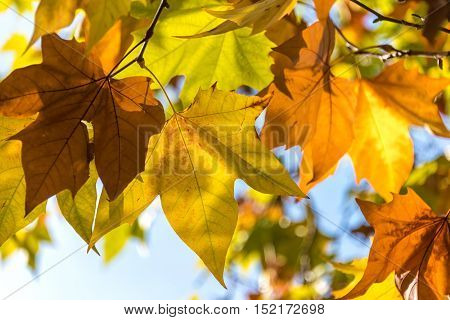 Close Up Of Sunlit Maple Leaves In Autumn