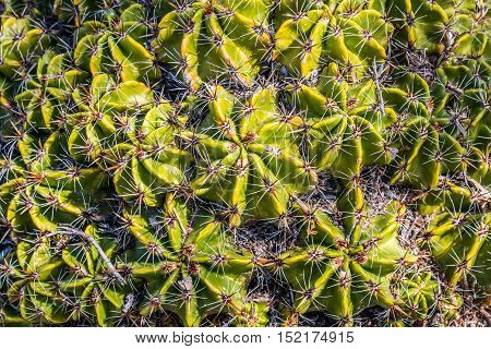 Close-up of Clustering Barrel cactus plants, native to Southeastern Puebla, Mexico.
