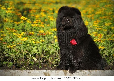 beautiful fluffy black dog breed Chow Chow sits in the summer on a background of flower beds in the collar with a red tassel. Family pet friend of children on holiday in the Park
