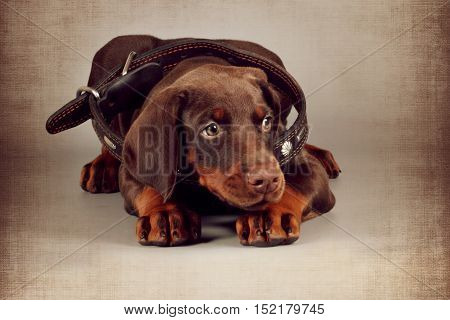 Little brown puppy Doberman lies in a large collar for an adult dog. Great pet for the protection of family and child