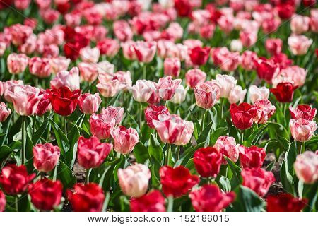 Field of spring tulips, flower bed, bright flower scorching, buds of tulips, seasonal flowers, beautiful flowers close-up