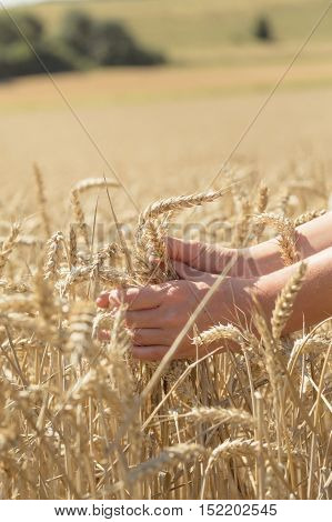 Hands in the middle of a cornfield. Feel the energy of the nature.