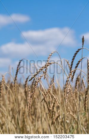 A cornfield on a beautiful sunny day