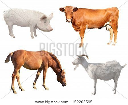 big animal livestock on a white background