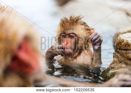 Baby snow monkey Japanese Macaque at onsen hot springs of Nagano, Japan