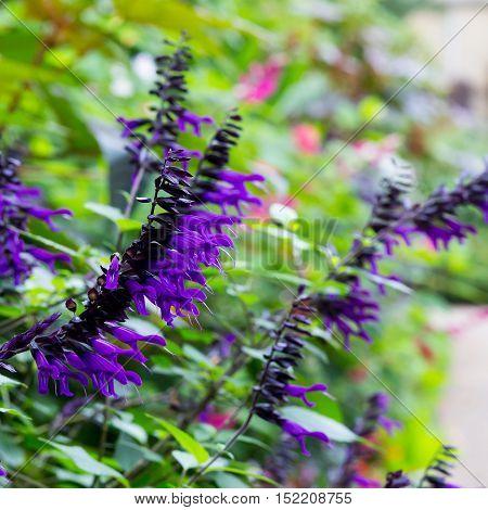 Salvia Amistad Large Sage Huge Violet Purple Flowers Lamiaceae