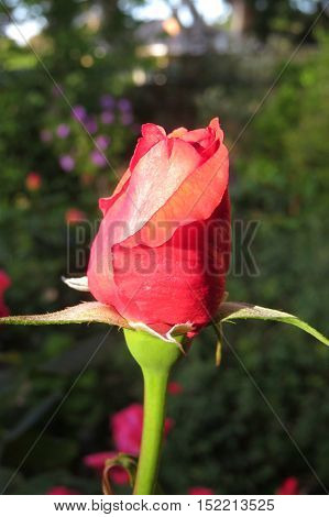 Close up of a red rosebud in afternoon sunlight
