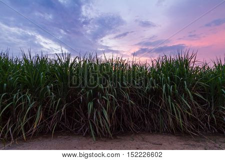 Fresh sugarcane with red sky in sunset time